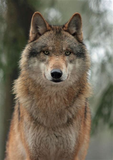 Adopt a Wolf From World Animal Foundation
