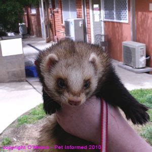 A Guide to Ferret Sexing and Ferret Gender Determination